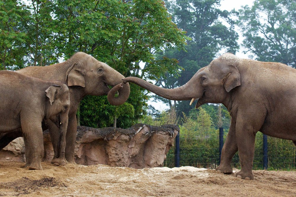 Elephants in Dublin Zoo